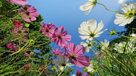 kosmeya, flower, sky