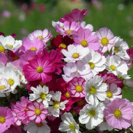 kosmeya, flowers, basket