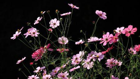 kosmeya, flowers, black background