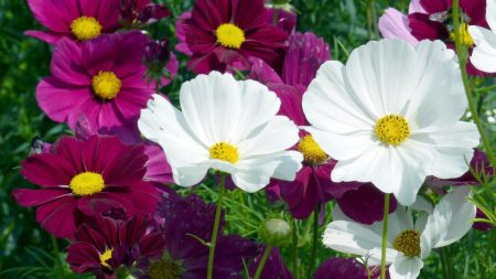 kosmeya, flowers, bright