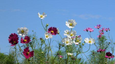 kosmeya, flowers, colorful