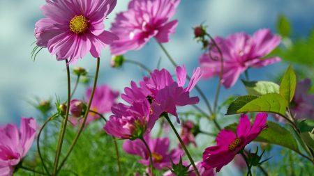 kosmeya, flowers, herbs
