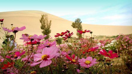 kosmeya, flowers, meadow