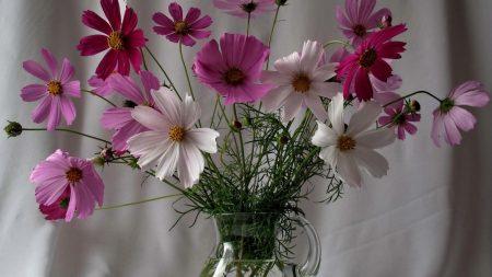 kosmeya, flowers, pot