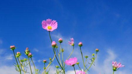 kosmeya, flowers, sky