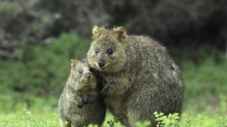 kvokka, couple, cub