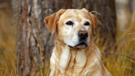 labrador, dog, nose