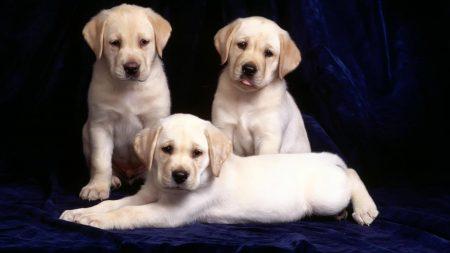 labrador, puppies, three