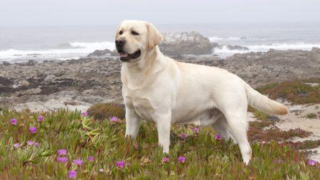 labrador, retriever, dog