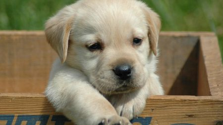labrador, retriever, puppy
