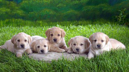 labradors, puppies, grass