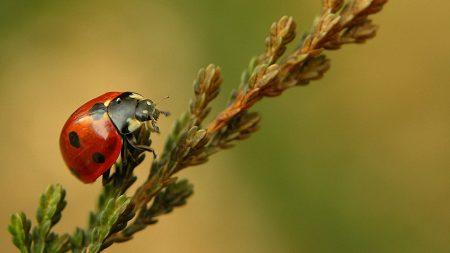 ladybird, branch, crawl