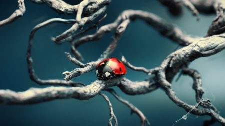 ladybird, branches, crawling