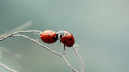 ladybird, couple, kissing