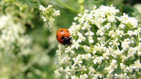 ladybird, flower, bright