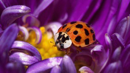 ladybird, flower, spots