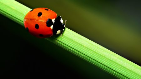ladybird, grass, crawling