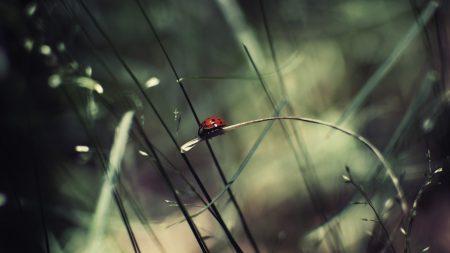 ladybird, grass, drops