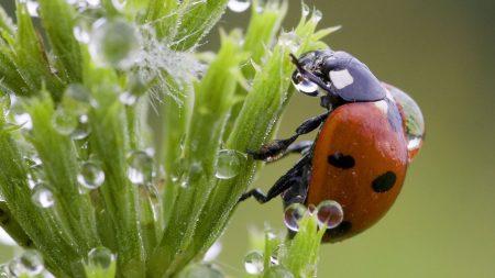 ladybird, plant, drops