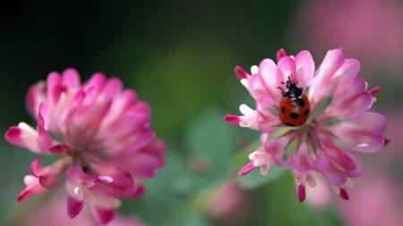 ladybug, flowers, clover