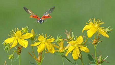 ladybug, flowers, fly
