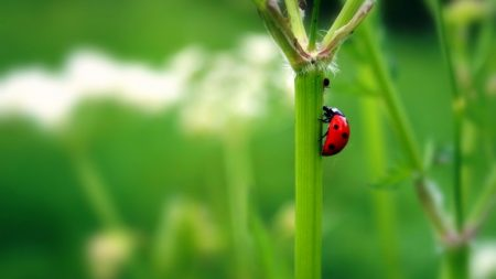 ladybug, insect, grass