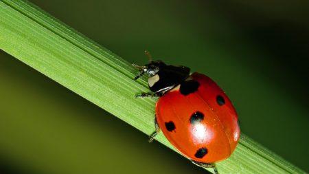 ladybug, leaf, grass
