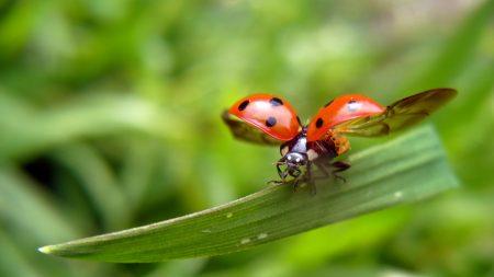 ladybug, leaves, grass