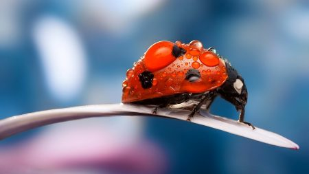 ladybug, petal, dew