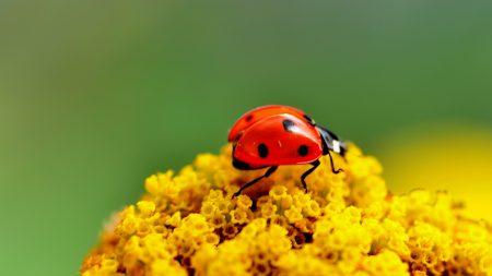 ladybug, surface, insect