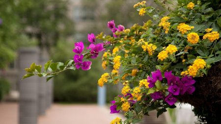 lantana, bougainvillaea, flowering
