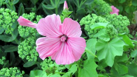 lavatera, flower, flowering