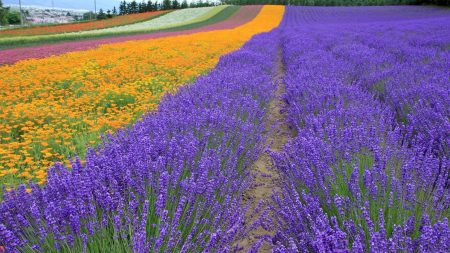 lavender, field, flowers
