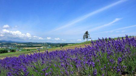 lavender, field, slope