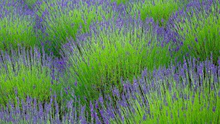 lavender, flowers, herbs