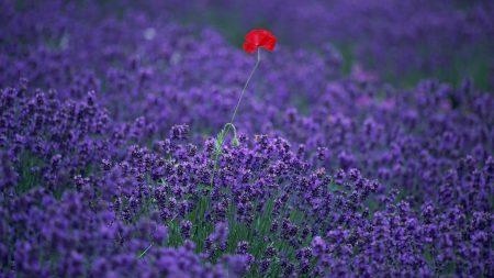 lavender, poppy, field