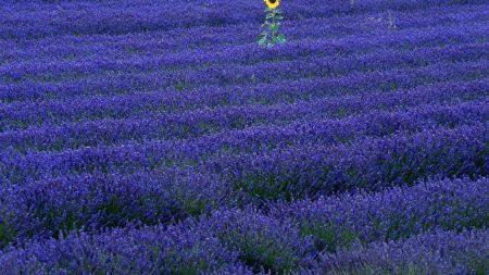 lavender, sunflowers, field