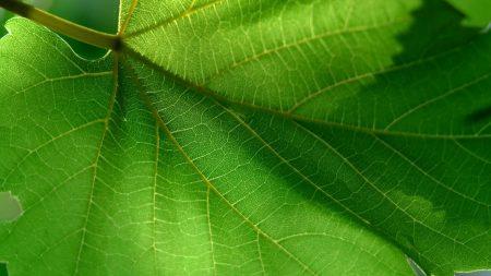 leaf, green, summer