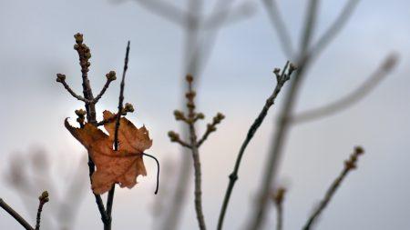 leaf, maple, branch