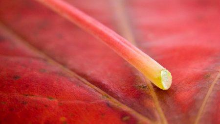 leaf, twig, red