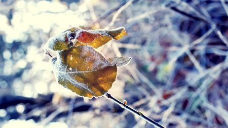 leaves, branches, frost