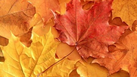 leaves, fall, dry