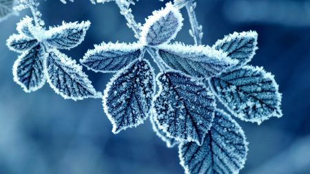 leaves, frost, winter
