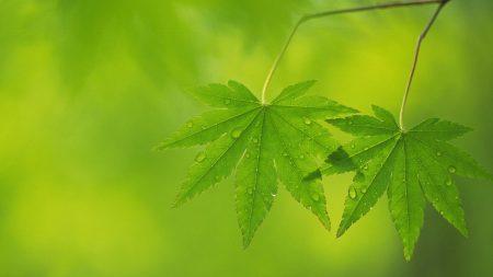 leaves, green, light