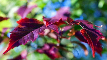 leaves, lilac, violet