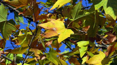 leaves, maple, dry