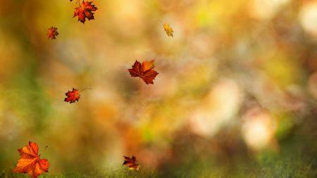 leaves, maple, flying