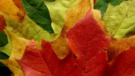 leaves, maple, shape