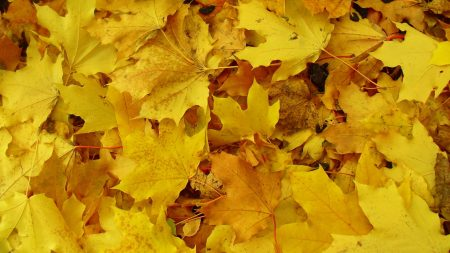 leaves, maple, yellow