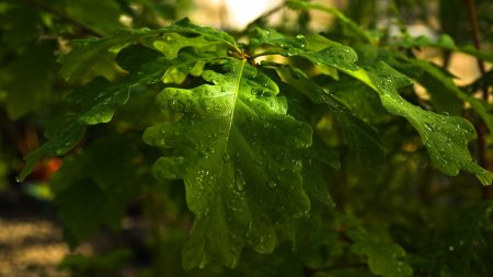 leaves, oak, drops